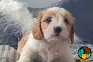 Cavachon for Rehoming