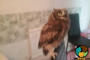 Bird of Prey for Rehoming