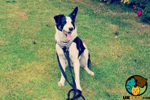 Border Collie Online Listings