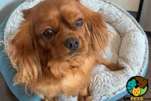 Cute Cavalier King Charles Spaniel For Sale