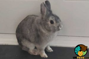 English Lop for Rehoming