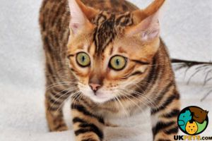 Bengal for Rehoming