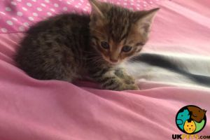 Bengals for Rehoming