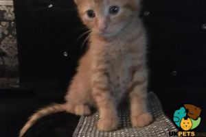 Cute Turkish Angora For Sale