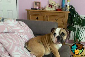 English Bulldog Online Listings