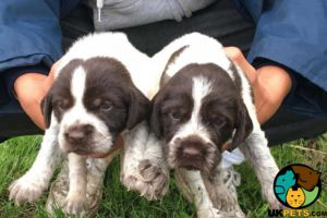 German Wirehaired Pointer For Sale in the UK