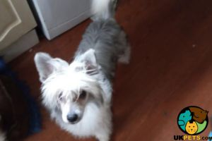 Chinese Crested For Sale in the UK