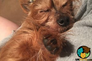 Yorkshire Terriers Wanted