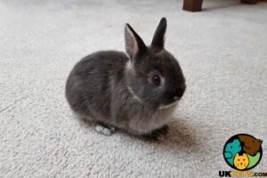 Netherland Dwarf Dogs Breed