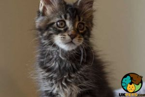 Maine Coons for Rehoming