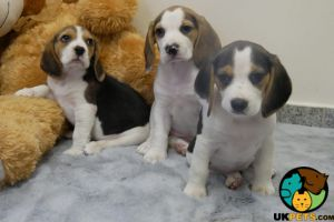 Beagle for Rehoming