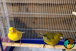 Canary For Sale in the UK