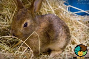 Belgian Hare for Rehoming
