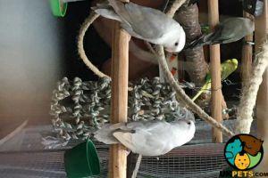 Lovebird for Rehoming