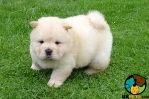 Chow Chows For Sale