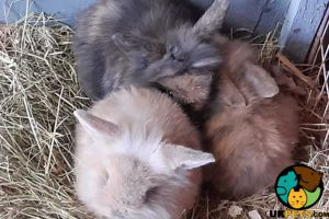 Mini Lops for Rehoming