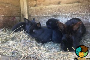 Lionhead For Sale in Lodon
