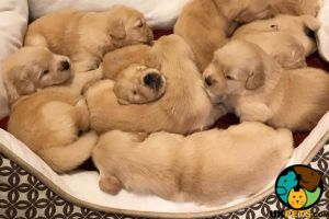 Available Golden Retrievers