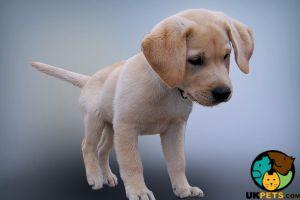 Cute Golden Retriever Wanted