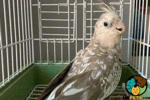 Cockatiel For Sale in Lodon
