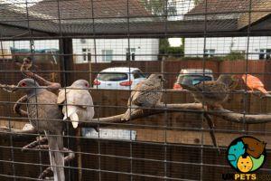 Dove For Sale in Great Britain