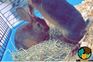 Belgian Hares For Sale
