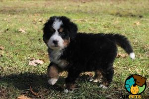 Bernese Mountain Dog Online Listings
