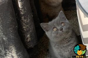 British Shorthairs for Rehoming