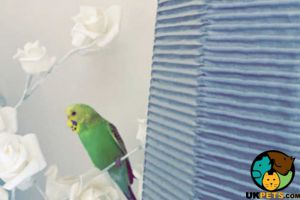 Available Budgies