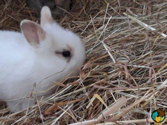 Baby harlequin lop rabbits   241222   UK Pets
