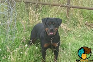 Rottweilers for Rehoming
