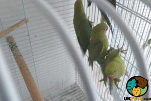 Parrot Advertisement UK Pets
