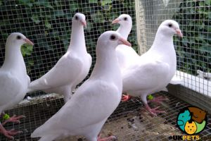 Pigeon For Sale in the UK