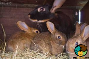 Belgian Hare For Sale in Great Britain