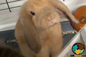 Dwarf Lop For Sale in the UK