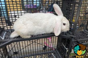 English Lop For Sale in Great Britain