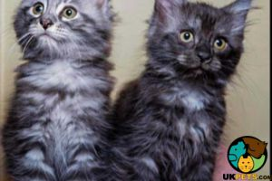 Maine Coon Online Ad