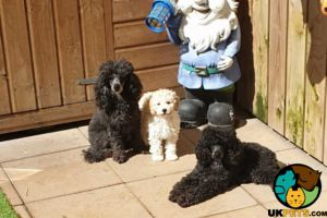 Poodle For Sale in Great Britain
