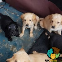 Labrador Retriever Dogs And Puppies For Sale In The Uk Uk Pets