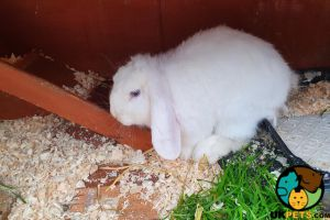 French Lop For Sale in Lodon