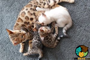 Bengal For Sale in the UK