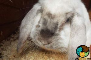 French Lop Cats Breed