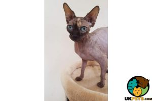 Sphynx For Sale