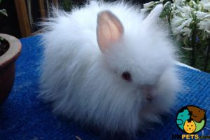 Angora For Sale in Great Britain
