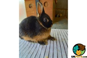 Available Netherland Dwarfs
