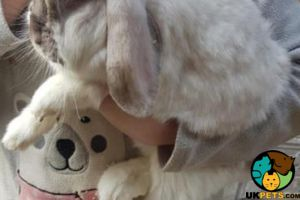 French Lop Advertisement UK Pets