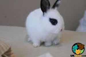 Dwarf Lop For Sale in Lodon
