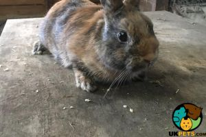 Netherland Dwarf For Sale in the UK