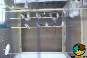 Doves for Rehoming