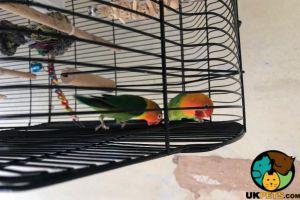 Lovebird Advertisement UK Pets